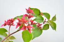 绿叶小红花花枝图片