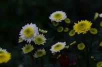 美丽的菊花风景