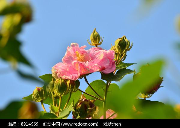 木芙蓉花树图片