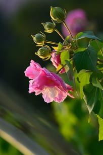 芙蓉花花骨朵