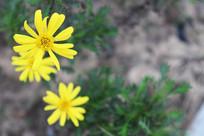 三朵小黄花