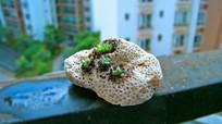 珊瑚多肉小盆栽特写摄影