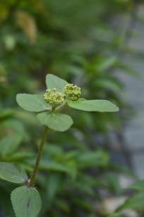 肾茶叶子与花蕾