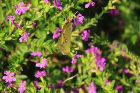 停着黄蝴蝶的粉紫色花丛