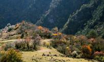 卧龙卓西牧场秋日彩林