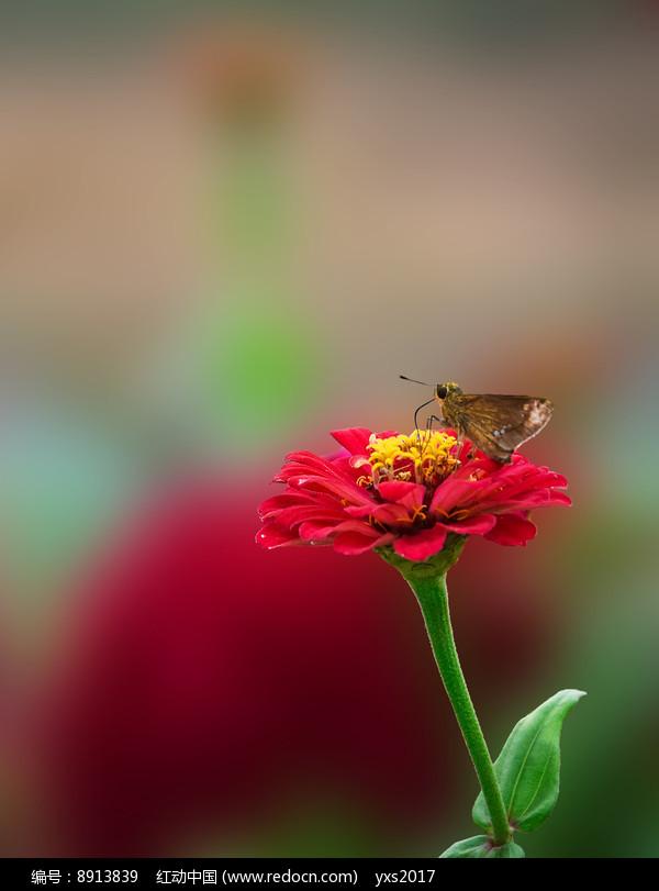 小黄蛾图片