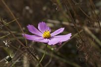 一朵盛开的波斯菊