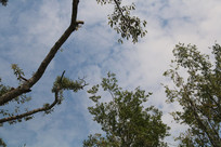 一枝榕树干
