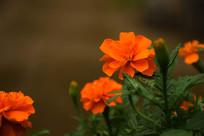 橙色小菊花