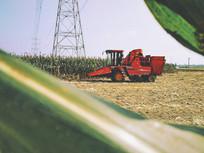 从玉米叶子间看收割玉米