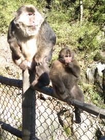 带着小猴子的母猕猴
