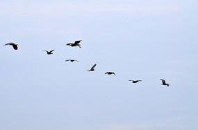 飞翔的鹭鸟