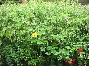 挂满枝头的胭脂花