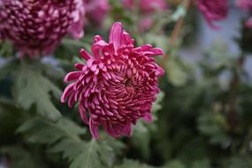 红色盛开的菊花