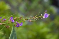 葫芦茶的花