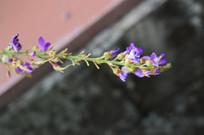 葫芦茶花朵