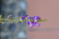 葫芦茶花朵花卉图