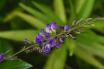 葫芦茶花朵拍摄图