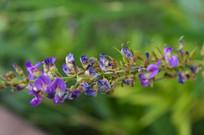 葫芦茶花朵特写