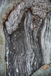 枯老的梧桐树干素材