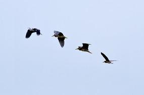 蓝天中飞翔的苍鹭
