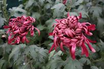 两朵红菊花