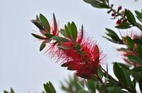 毛茸茸的红色花卉