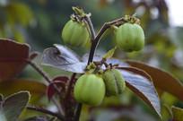 棉叶麻风树果实