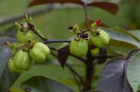 棉叶麻风树果实高清图片