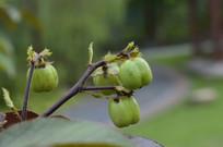 棉叶麻风树果实图片素材