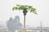 木瓜树农作物