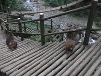 爬上栈道的猕猴