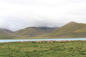 羊卓雍措羊群
