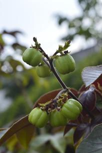 有毒的棉叶麻风树果实