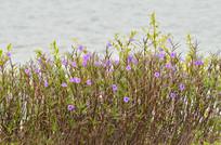 紫色小花花儿图片