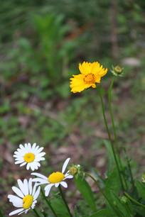 白色野菊花与黄金菊