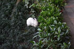 草丛里的小白兔