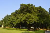 两棵并排生长的古老白兰树