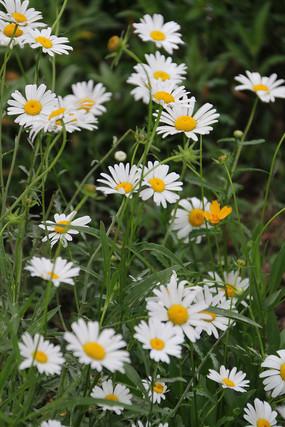 满地的白色野菊花
