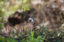 草丛中的蒲公英