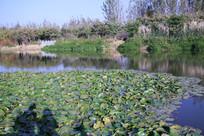 池塘里的睡莲