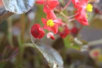 红花黄花蕊