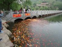 湖中的彩色鲤鱼