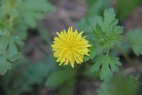金黄的小菊花