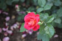 一朵娇艳的月季花