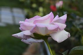 一朵清纯的浅粉白色月季花
