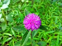 紫色绣球小野菊特写摄影