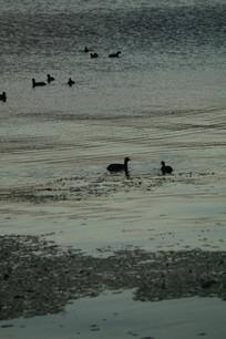傍晚湖里的野鸭剪影