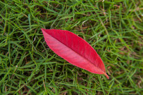 草地上的红色叶片背景素材