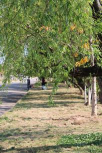 道路旁的柳树枝